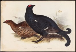 Black Grouse - Tetra Grouse