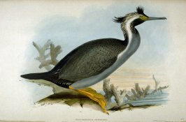 Phalacrocorax Punctatus - Spotted Commorant