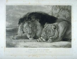 Sleeping Lion and Lioness, from Lewis' Lions - Six Studies of Wild Animals