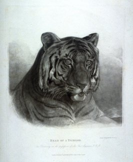Head Of A Tigress, from Lewis' Lions - Six Studies of Wild Animals