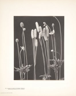 Plate No. 145, Anemone Cylindrica and Anemone Virginiana, Long - Fruited Anemone and Tall Anemone, from the book Wild Flowers of New England (1904, revised 1914)