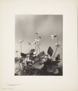 Viola Cucullata, Viola Palmata, Early Blue Violet, plate 123 from Wildflowers of New England, Photographed from Nature, Volume V