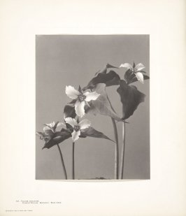 Trillium Undulatum, Painted Trillium, Birthroot, Wake-Robin, plate 101 from Wildflowers of New England, Photographed from Nature, Volume V
