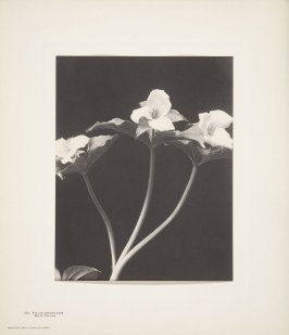 Trillium Grandiflorum, White Trillium, plate 102 from Wildflowers of New England, Photographed from Nature, Volume V