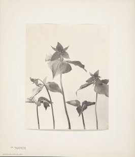 Trillium Erectum, Purple Trillium, plate 103 from Wildflowers of New England, Photographed from Nature, Volume V