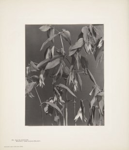 Uvularia Grandiflora, Large-flowered Bellwort, Wild Oat, plate 104 from Wildflowers of New England, Photographed from Nature, Volume V