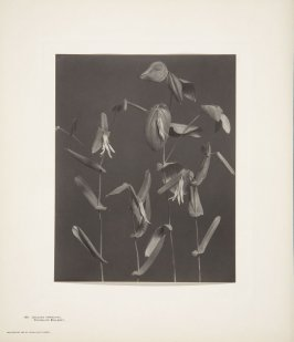 Uvularia Perfoliata, Perfoliate Bellwort, plate 105 from Wildflowers of New England, Photographed from Nature, Volume V