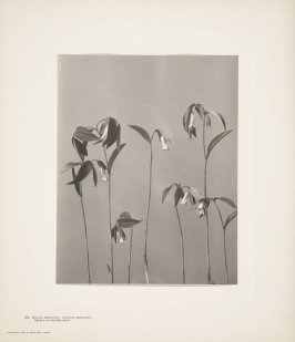 Oakesia Sessilifolia, Uvularia Sessilifolia, Sessile-leaved Bellwort, plate 106 from Wildflowers of New England, Photographed from Nature, Volume V