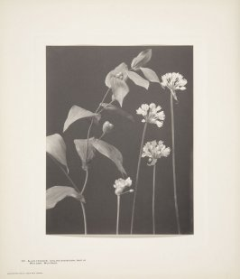 Allium Tricoccum, Fruit of Uvularia Grandiflora, Wild Leek, Wild Onion, plate 107 from Wildflowers of New England, Photographed from Nature, Volume V