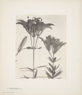 Lilium Philadelphicum, Red or Wood Philadelphia Lily, plate 108 from Wildflowers of New England, Photographed from Nature, Volume V