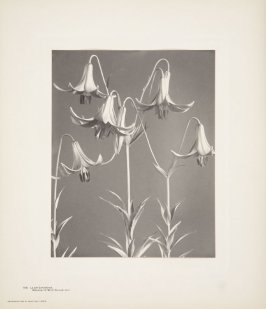 Lilium Canadense, Meadow or Wild Yellow Lily, plate 109 from Wildflowers of New England, Photographed from Nature, Volume V
