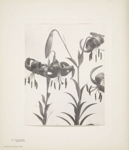 Lilium Superbum, Turk's-Cap Lily, plate 110 from Wildflowers of New England, Photographed from Nature, Volume V