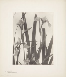 Iris Versicolor, Blue Flag, Flower-de-Luce, plate 111 from Wildflowers of New England, Photographed from Nature, Volume V
