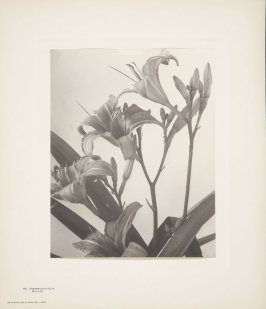 Hemerocallis Fulva, Day Lily, plate 112 from Wildflowers of New England, Photographed from Nature, Volume V