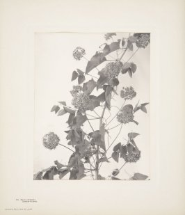 Smilax Herbacea, Carrion-Flower, plate 114 from Wildflowers of New England, Photographed from Nature, Volume V