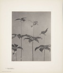 Medeola Virginiana, Indian Cucumber-Root, Indian, plate 115 from Wildflowers of New England, Photographed from Nature, Volume V