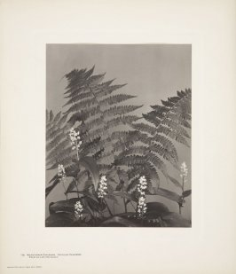 Maianthemum Canadense, Unifolium Canadense, False Lily-of-the-Valley, plate 116 from Wildflowers of New England, Photographed from Nature, Volume V