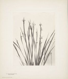 Sisyrinchium Angustifolium, Blue-Eyed Grass, plate 117 from Wildflowers of New England, Photographed from Nature, Volume V
