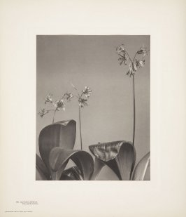Clintonia Borealis, Yellow Clintonia, plate 118 from Wildflowers of New England, Photographed from Nature, Volume V