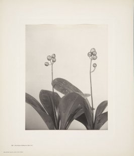 Fruit of Clintonia Borealis, Fruit of Yellow Clintonia, plate 119 from Wildflowers of New England, Photographed from Nature, Volume V
