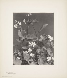 Viola Canadensis, Canada or Wood Violet, plate 121 from Wildflowers of New England, Photographed from Nature, Volume V