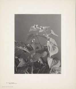 Viola Pubescens, Downy Yellow Violet, plate 122 from Wildflowers of New England, Photographed from Nature, Volume V