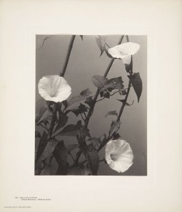 Convolvulus Septium, Hedge Bindweed, Morning-Glory, plate 124 from Wildflowers of New England, Photographed from Nature, Volume V