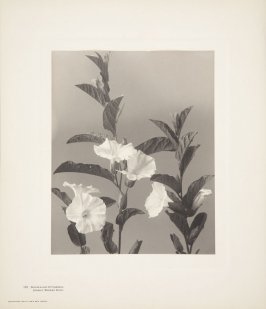 Convolvulus Spithamaeus, Upright Morning-Glory, plate 125 from Wildflowers of New England, Photographed from Nature, Volume V
