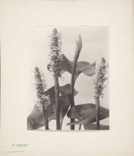 Pontederia Cordata, Pickerel-Weed, plate 126 from Wildflowers of New England, Photographed from Nature, Volume VI