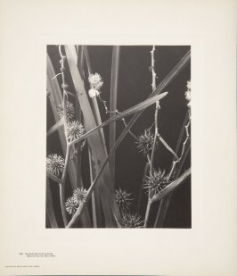 Sparganium Eurycarpum, Broad-Fruited Bur-reed, plate 128 from Wildflowers of New England, Photographed from Nature, Volume VI