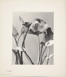 Calla Palustris, Water Arum, plate 129 from Wildflowers of New England, Photographed from Nature, Volume VI