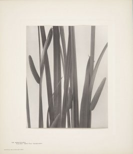 Acorus Calamus, Calamus-Root, Sweet Flag, Flag-Root, plate 130 from Wildflowers of New England, Photographed from Nature, Volume VI