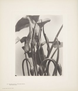 Peltandra Undulata, Peltandra Virginica, Green Arrow-Arum, plate 131 from Wildflowers of New England, Photographed from Nature, Volume VI