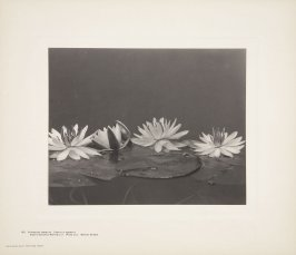 Castalia Odorata, Nymphaea Odorata, White Pond Lily, Sweet-Scented Water Lily, Water Nymph, plate 133 from Wildflowers of New England, Photographed from Nature, Volume VI