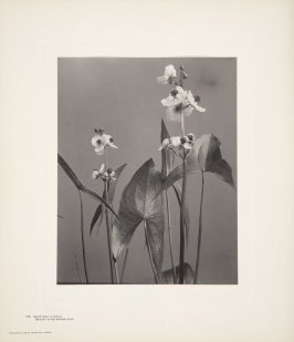 Sagittaria Latifolia, Broad-Leaved Arrow-Head, plate 135 from Wildflowers of New England, Photographed from Nature, Volume VI