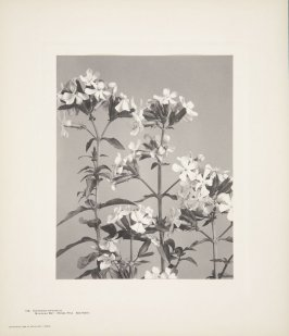 Saponaria Officinalis, Bouncing Bet, Hedge Pink, Soapwort, plate 136 from Wildflowers of New England, Photographed from Nature, Volume VI