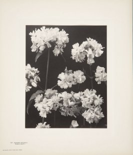 Saponaria Officinalis, Double Variety, plate 137 from Wildflowers of New England, Photographed from Nature, Volume VI