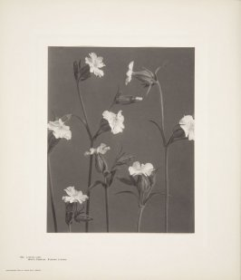 Lynchnis Alba, White Campion, Evening Lynchnis, plate 138 from Wildflowers of New England, Photographed from Nature, Volume VI