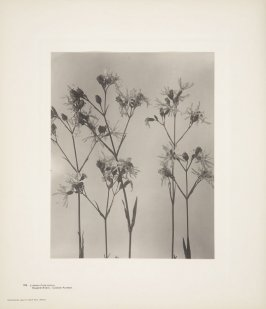 Lynchnis Flos-Cuculi, Ragged Robin, Cuckoo Flower, plate 139 from Wildflowers of New England, Photographed from Nature, Volume VI