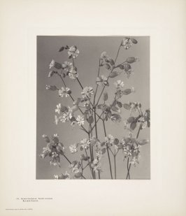 Silene Cucubalus, Silene Vulgaris, Bladder Campion, plate 141 from Wildflowers of New England, Photographed from Nature, Volume VI
