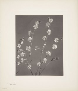Silene Dichotoma, Forked Catch-Fly, plate 142 from Wildflowers of New England, Photographed from Nature, Volume VI