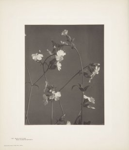 Silene Noctiflora, Night-Flowering Catch-Fly, plate 143 from Wildflowers of New England, Photographed from Nature, Volume VI