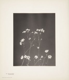 Cerastium Arvense, Nymphaea Advena, Field Chickweed, plate 144 from Wildflowers of New England, Photographed from Nature, Volume VI