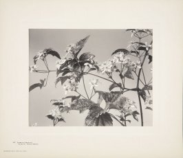 Clematis Virginiana, Wild Clematis, Virgin's Bower, plate 147 from Wildflowers of New England, Photographed from Nature, Volume VI