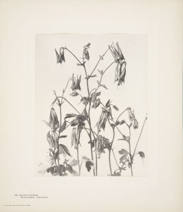 Aquilegia Canadensis, Wild Columbine, Wild Honeysuckle, plate 149 from Wildflowers of New England, Photographed from Nature, Volume VI