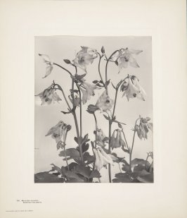 Aquilegia Vulgaris, European Columbine, plate 150 from Wildflowers of New England, Photographed from Nature, Volume VI