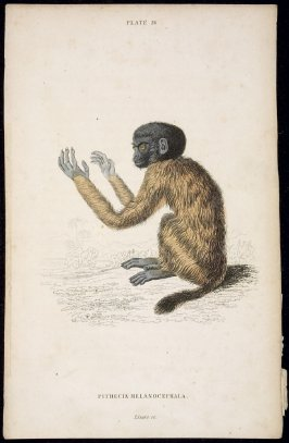 Monkey [Pithecia Melanocephala] from William Jardine: The Naturalist's Library (1854-56)