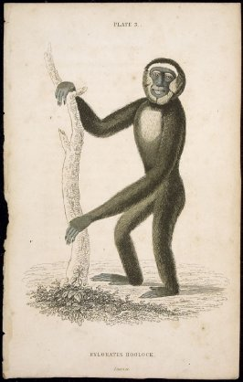 Plate 3, Monkey [Hylobates Hoolock] from William Jardine: The Naturalist's Library