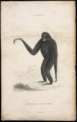 Plate 4, Monkey [Hylobates Syndactyla] from William Jardine: The Naturalist's Library