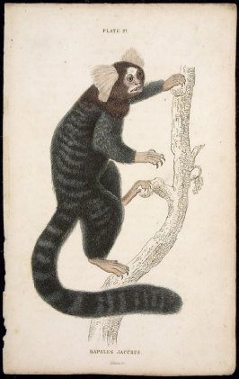 Plate 27, Monkey [Hapales Jacchus] from William Jardine: The Naturalist's Library